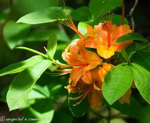 Light orange flame azalea