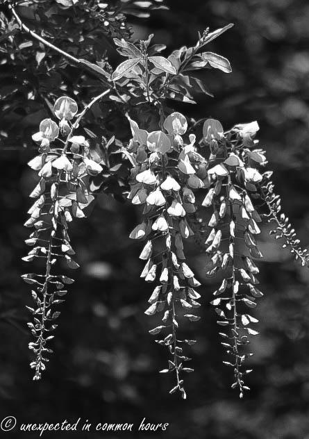 Monochrome wisteria