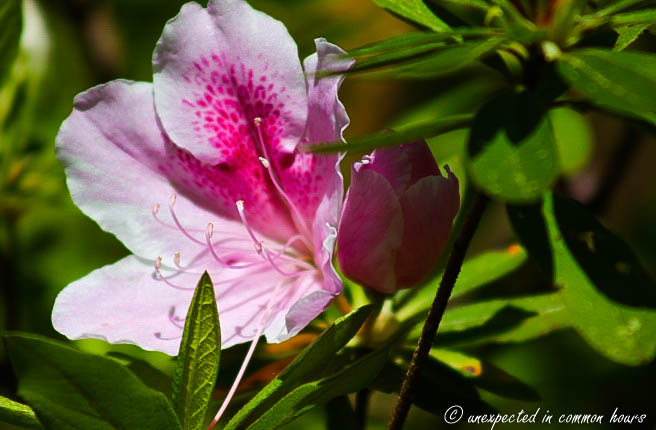 pink and white azalea 2