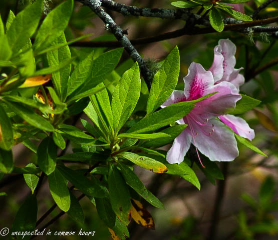 pink and white azalea