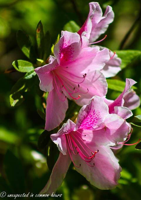 pink azalea3