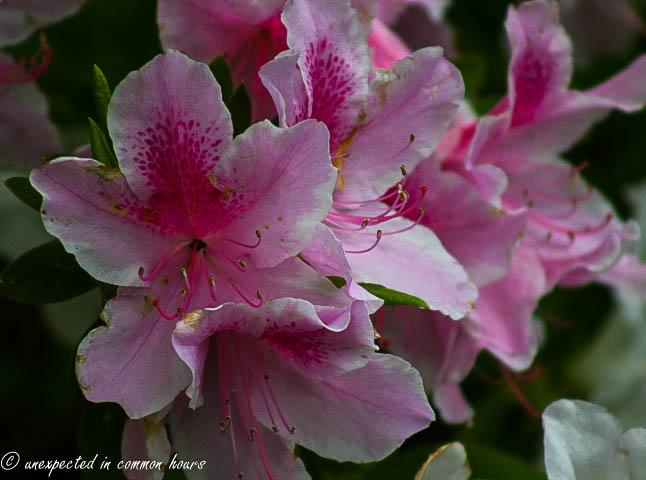pink azalea4