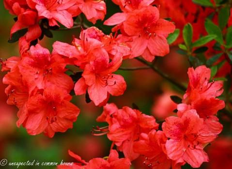 small azalea plant2