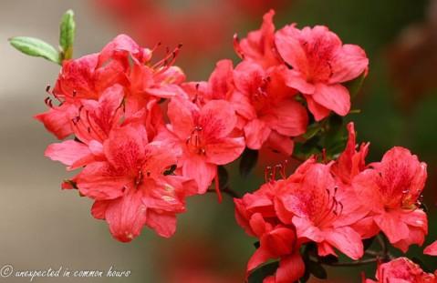 small azalea plant3