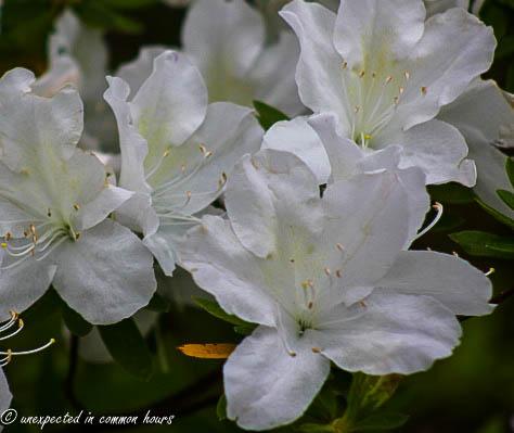 white azalea4
