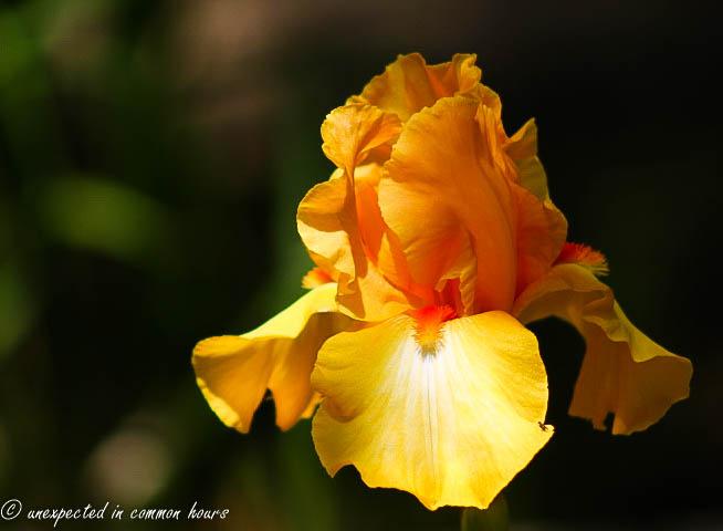 Yellow iris2
