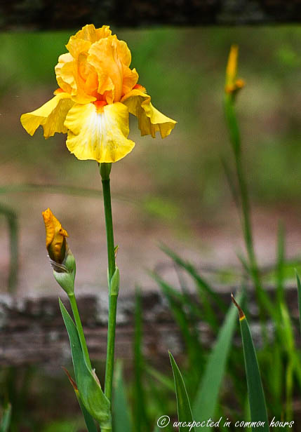 Yellow iris3