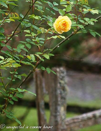 Yellow rose3