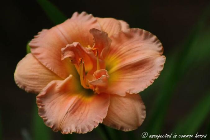 Apricot daylily2