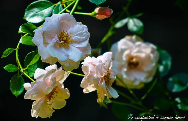 Battered roses