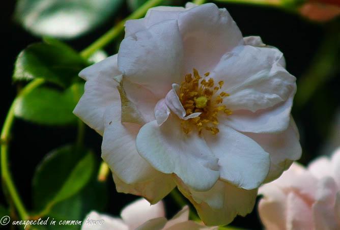 Battered roses2