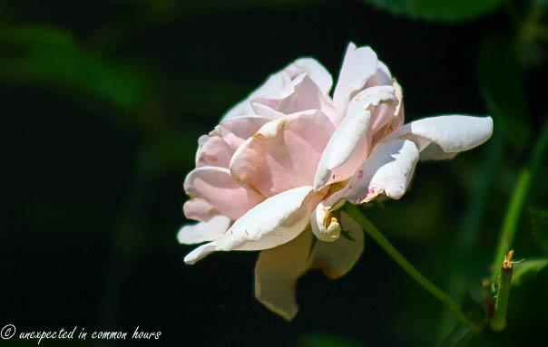 Battered roses3