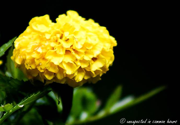 Marigolds2