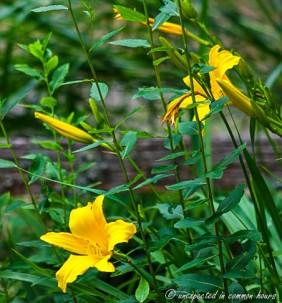 Yellow daylilies2