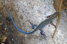 Blue-Tailed-Skink