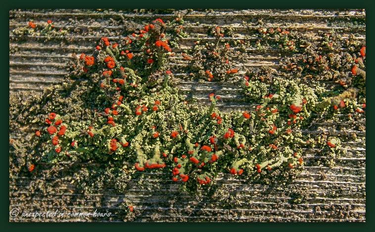 Lichen on fence rail
