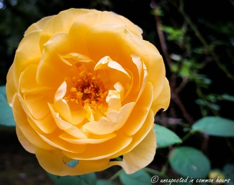 Dark yellow rose_