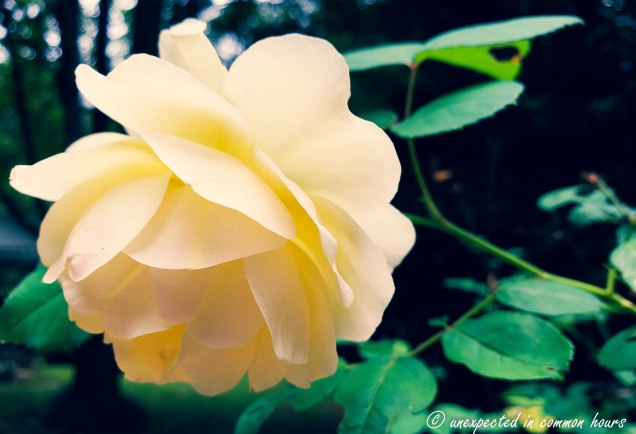 Light yellow rose_
