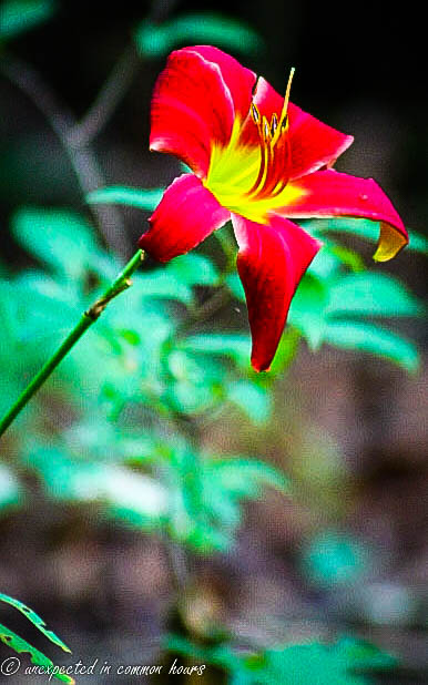 Red and yellow lily 2