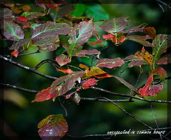 Festival of Leaves Week 4 - 2