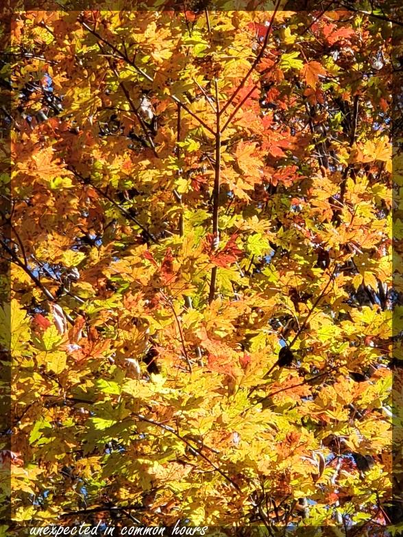 Maple 2 festival of leaves week 6