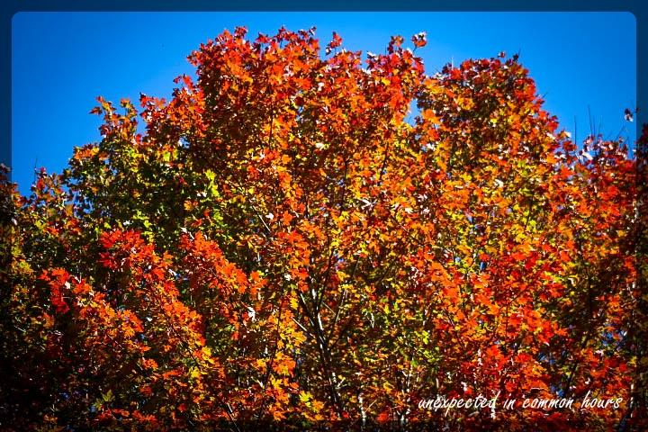 Maple festival of leaves week 6