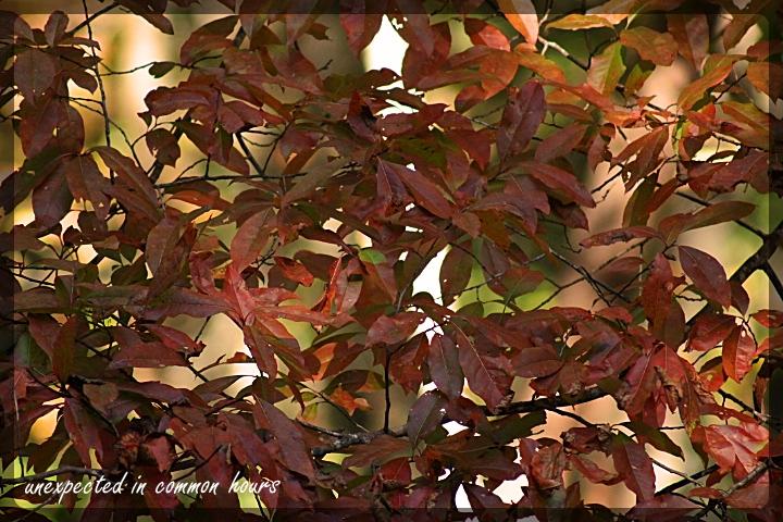 Sourwood 2 festival of leaves week 6