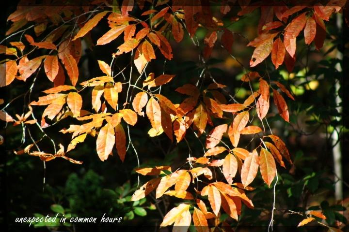 Sourwood festival of leaves week 6