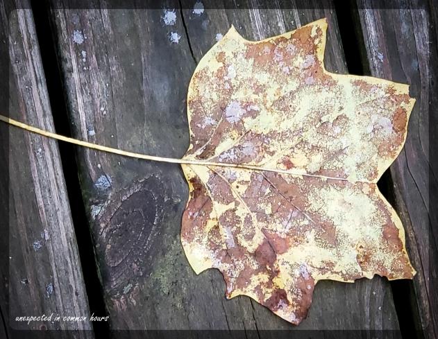 Tulip Poplar leaf on deck