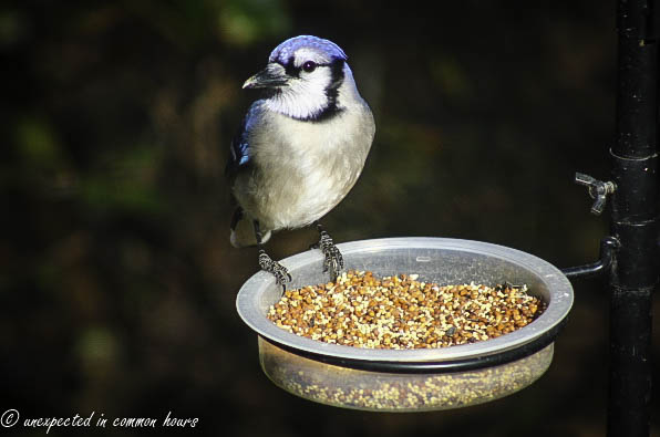 Blue Jay at the feeder 3
