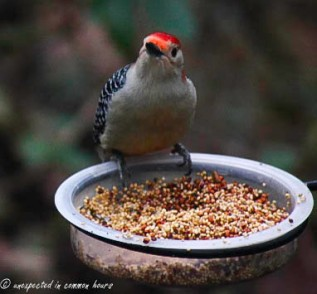 Woodpecker at the feeder 3