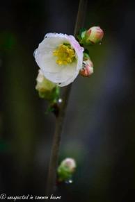 Flowering Quince 2