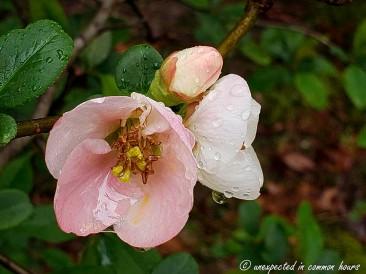 Flowering Quince 5