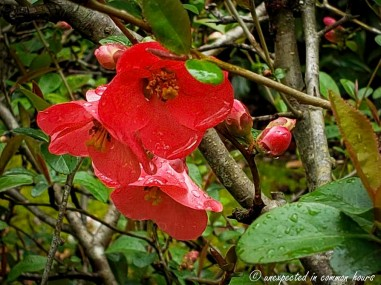 Flowering Quince 6