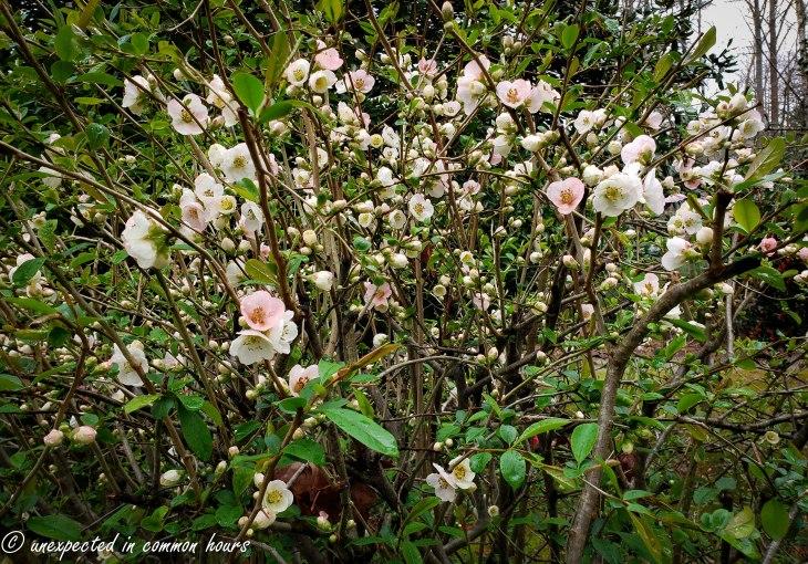 Flowering Quince bush