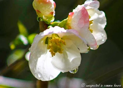 Flowering Quince_