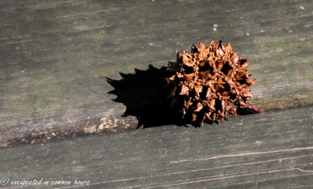 Sweet gum shadow