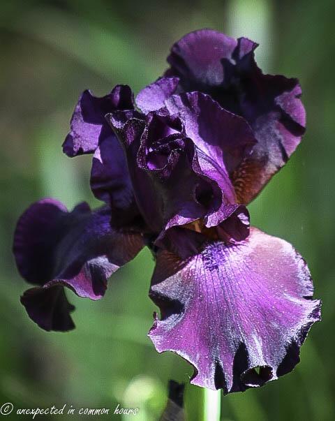 Purple iris 3