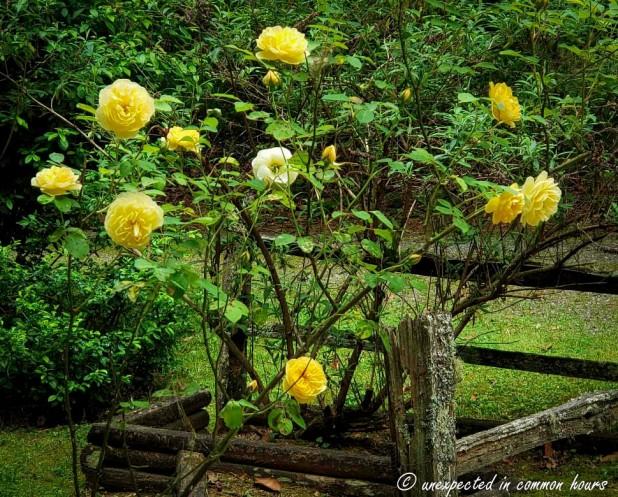 Rose bush 2