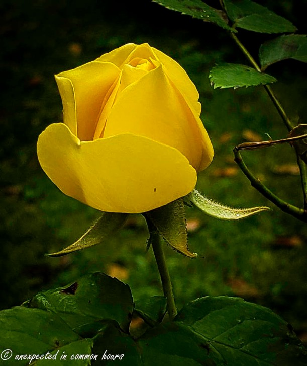 Yellow rose 3