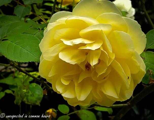 Yellow rose 4