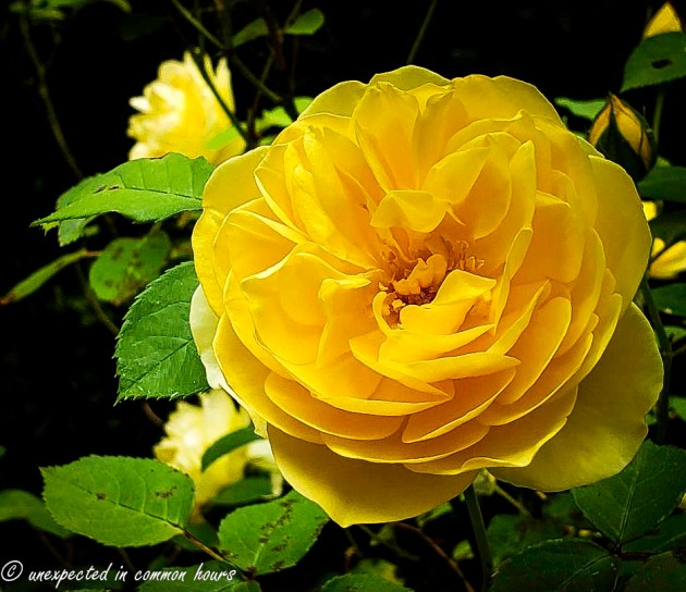 Yellow rose 5