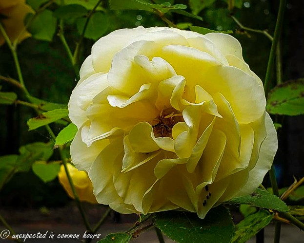 Yellow rose 7